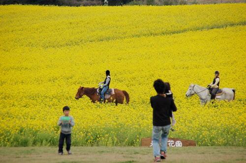 馬と菜の花