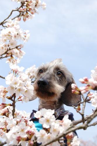 永遠っちと桜