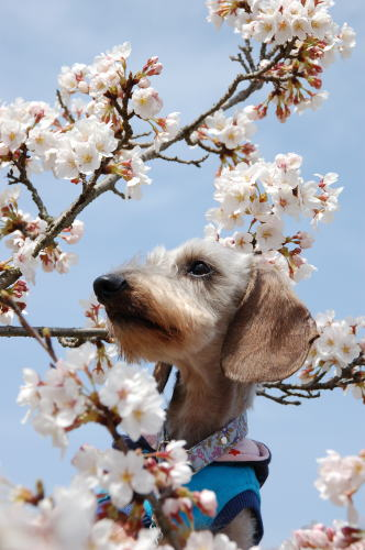 りっくんと桜さん