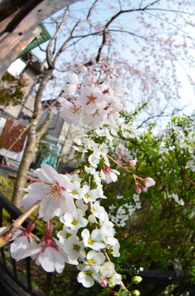 桜とゆきやなぎ