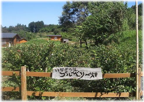 ブルーベリー畑。