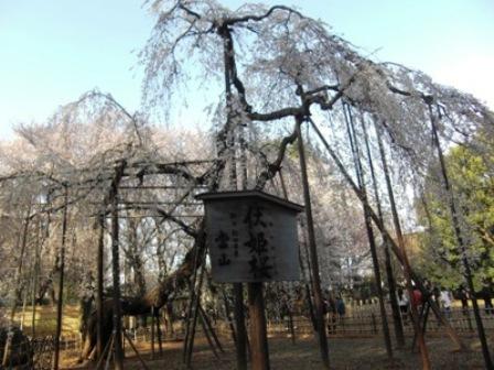 樹齢400年の伏姫桜