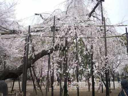 樹齢400年の伏姫桜!