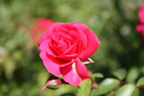 赤いバラ♪