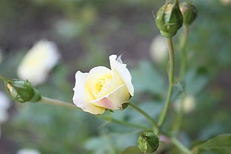 白いバラの蕾♪