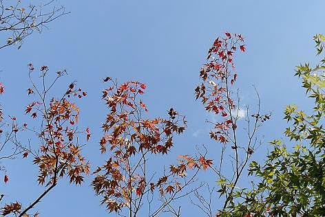 カエデの紅葉♪