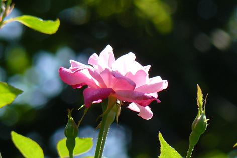 秋のバラ♪