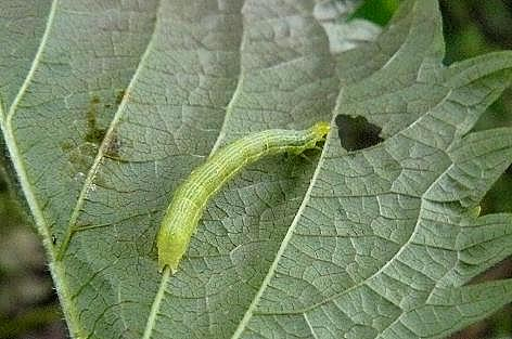 何の幼虫?