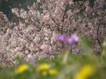 黄、紫、桜の花