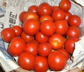 平成22年8月9日フルーツトマト