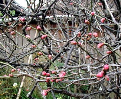 一番早く咲く梅です