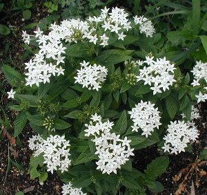 星のような花が可愛い