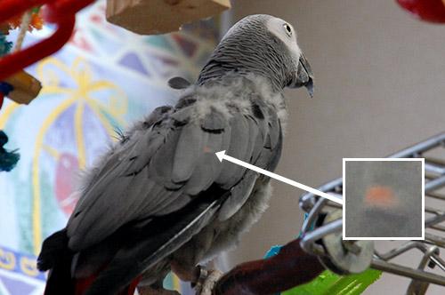 Jean-Lucの羽の赤