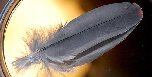 Chloeの羽根