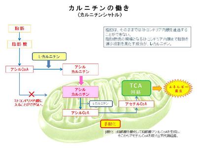 カルニチンの脂肪燃焼での役割