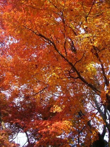 kyoto momiji