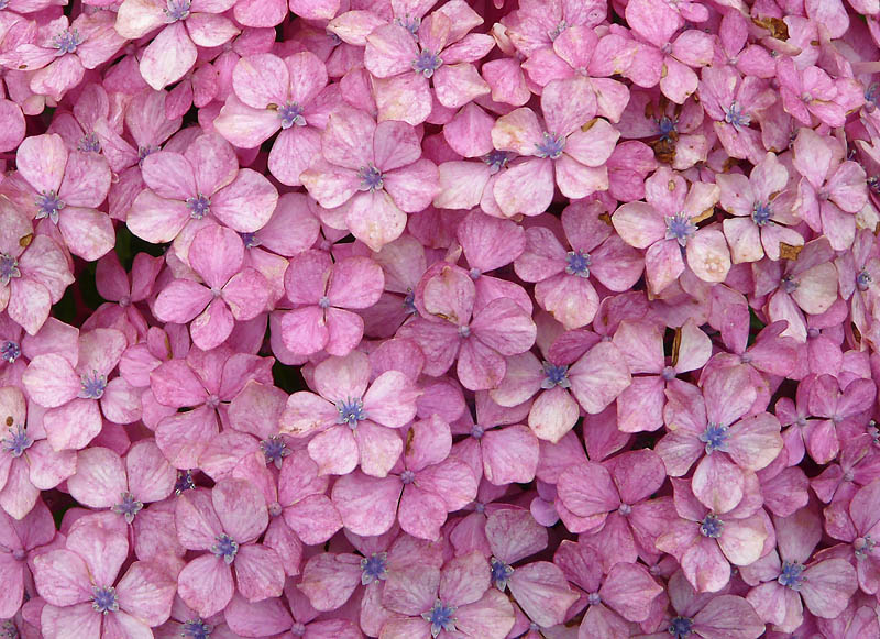 090614観音崎の紫陽花3