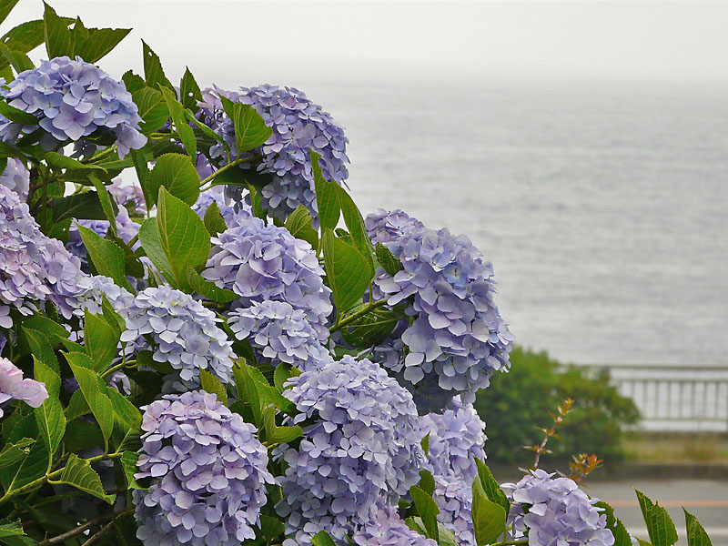 090614観音崎の紫陽花4
