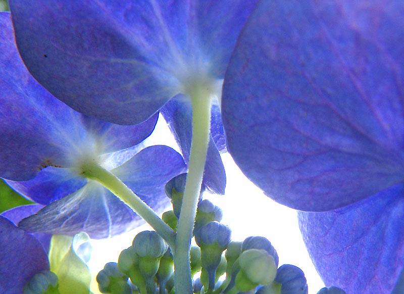 090618紫陽花の家4