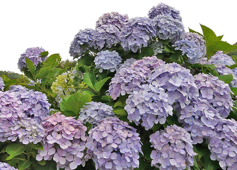 090618紫陽花の家5
