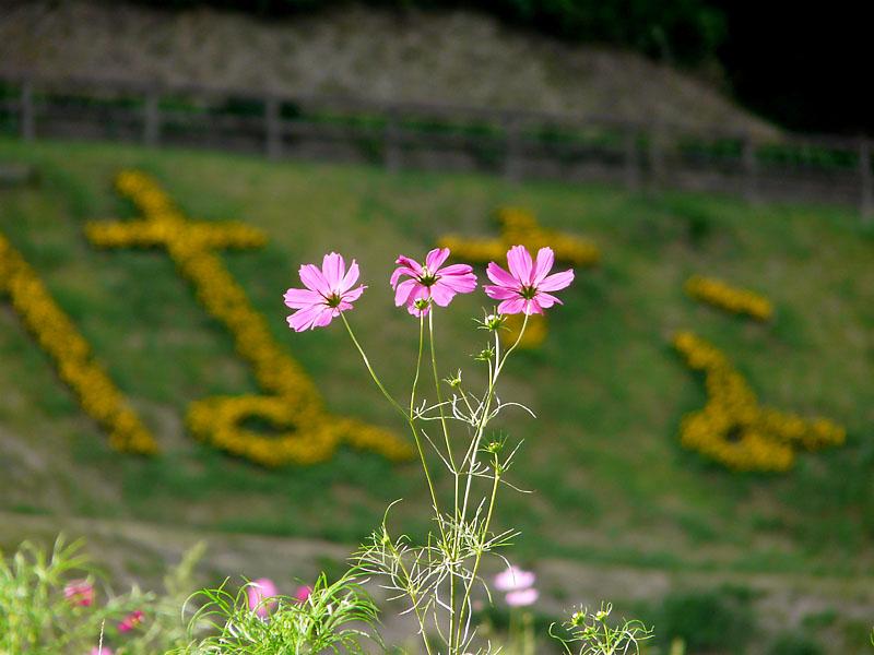 090923花の国コスモス2