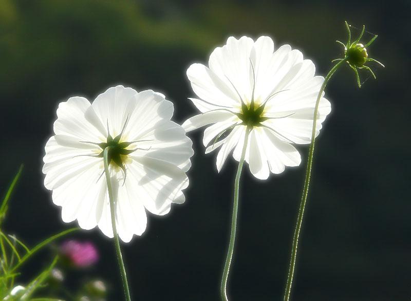 090923花の国コスモス4