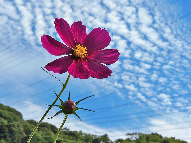 090923花の国コスモス3