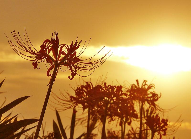 090923花の国コスモス5