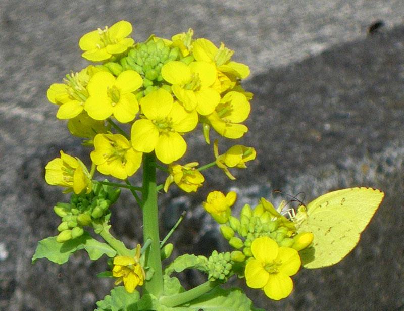 091127菜の花1