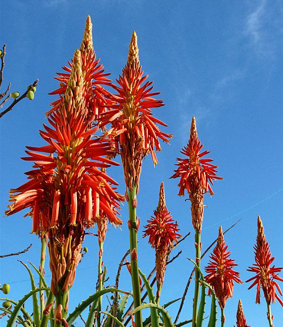 091212アロエの花1