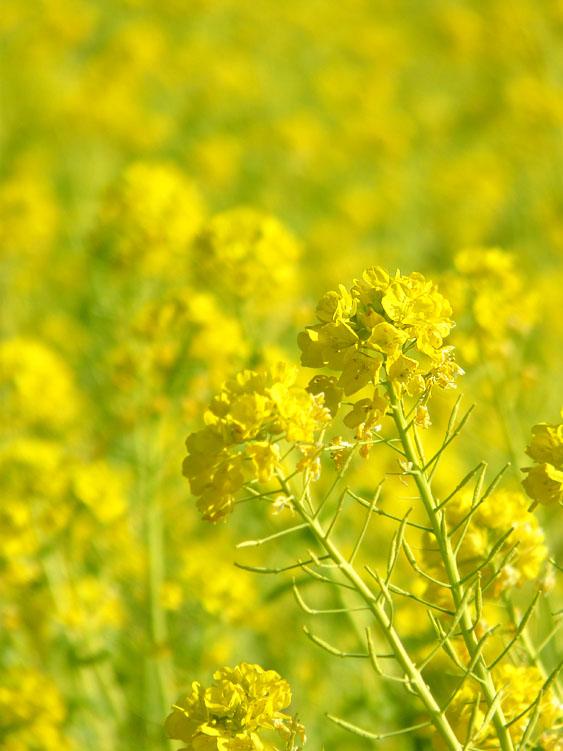 100110菜の花3