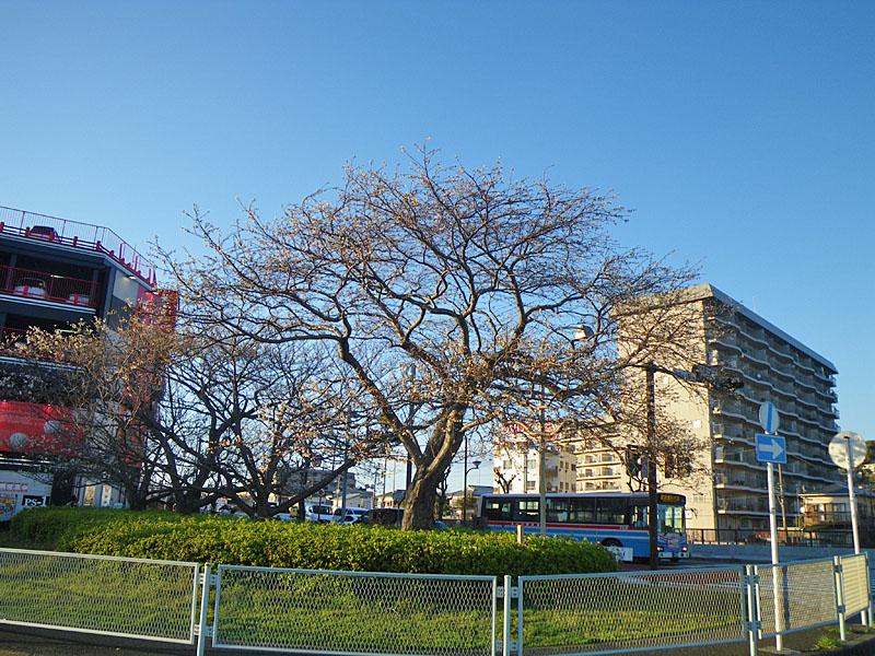 100321JR久里浜駅前桜1