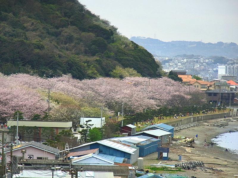 100404走水水源地の桜4