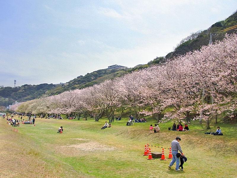 100404走水水源地の桜1