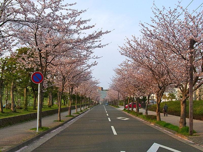 100406花の国への桜道1