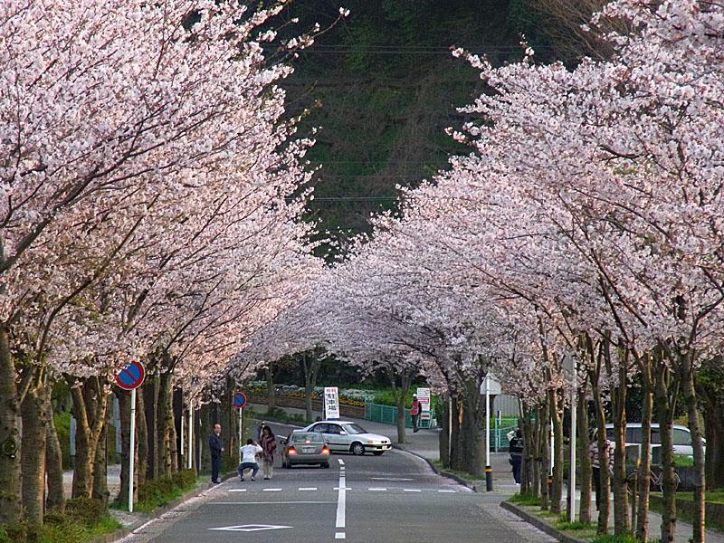 100406花の国への桜道2