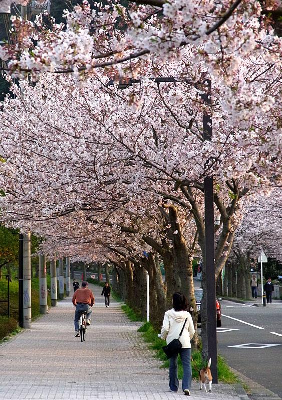 100406花の国への桜道3