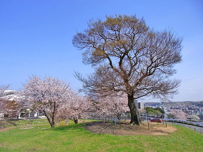 100408榎と桜1