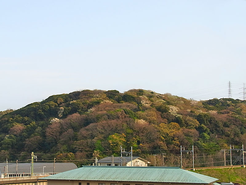 100406山桜2