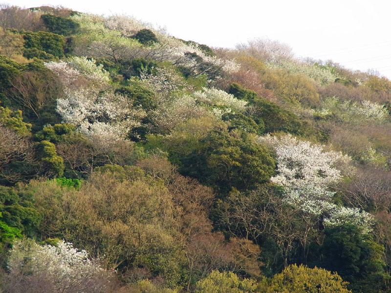 100406山桜1