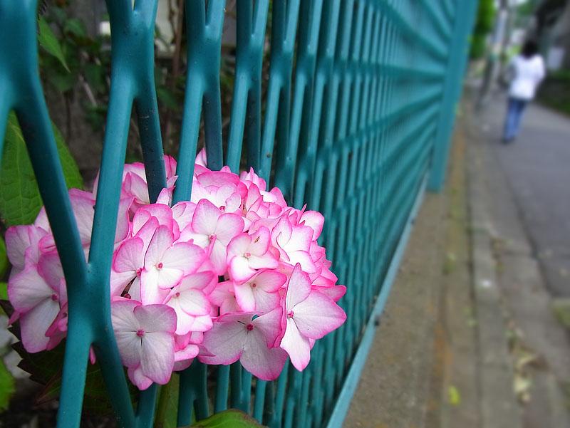 100529紫陽花