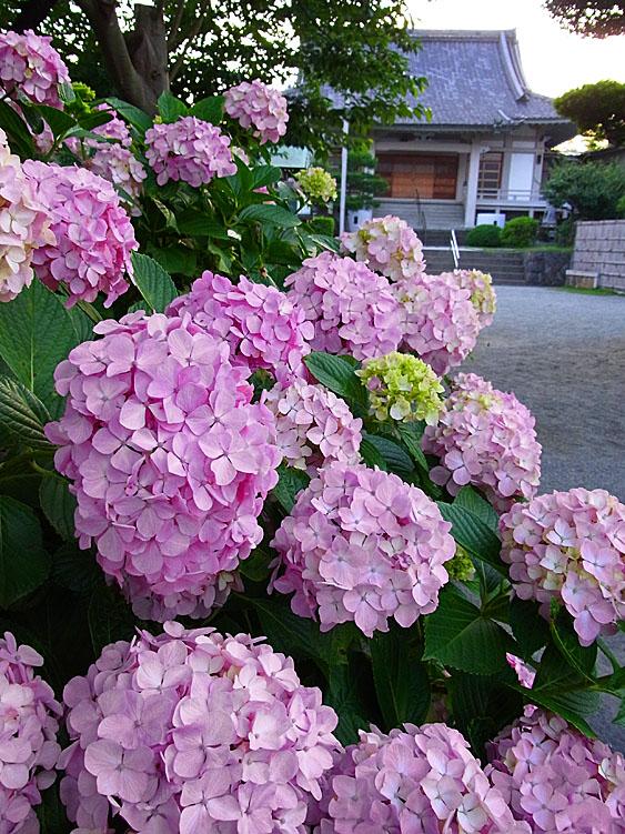 100624正業寺の紫陽花