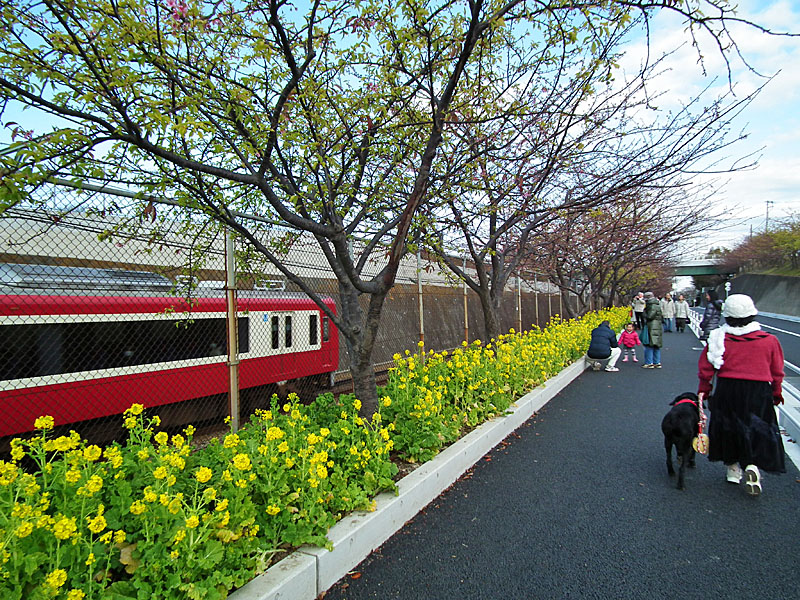 110213河津桜2