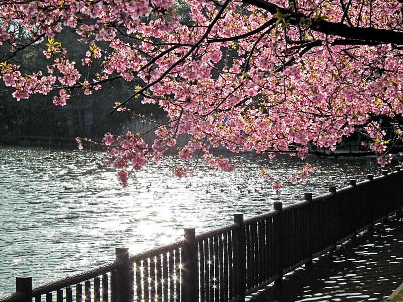 110227河津桜と京急電車6