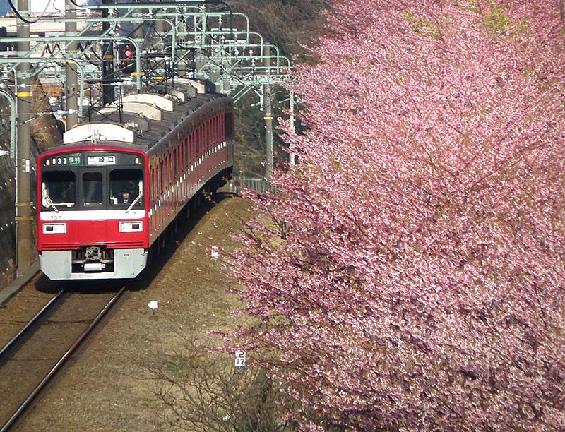 110227河津桜と京急電車1