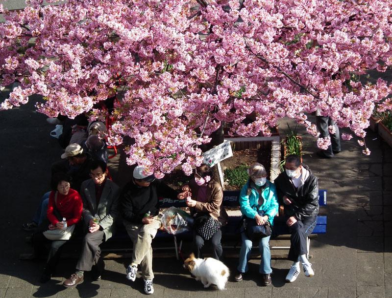 110227河津桜と京急電車3