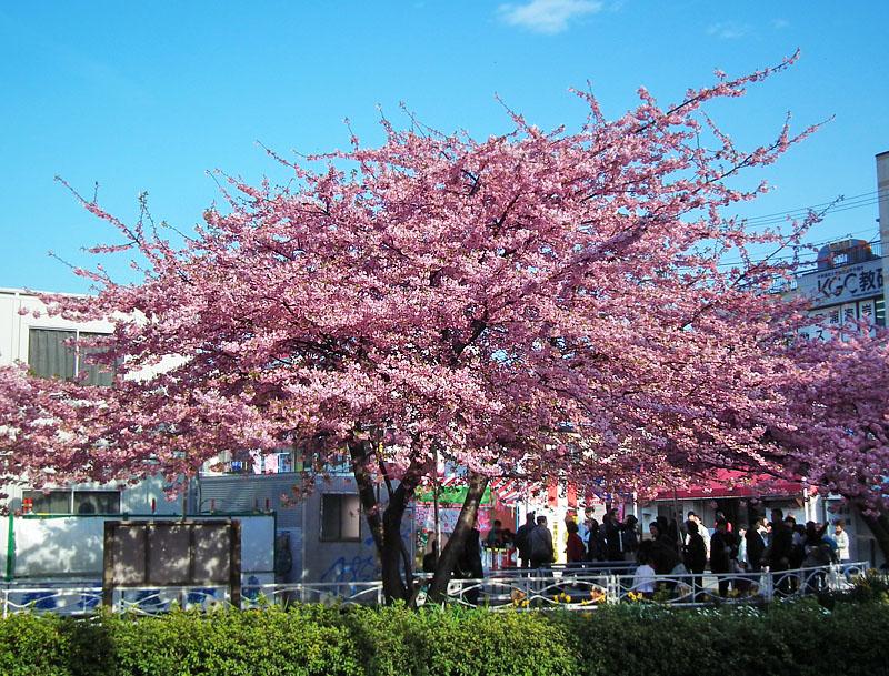 110227河津桜と京急電車4