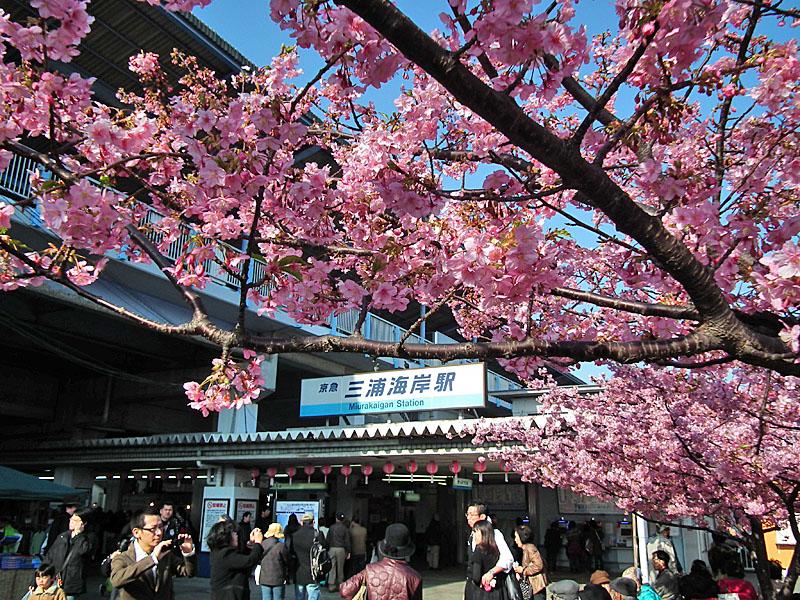 110227河津桜と京急電車2