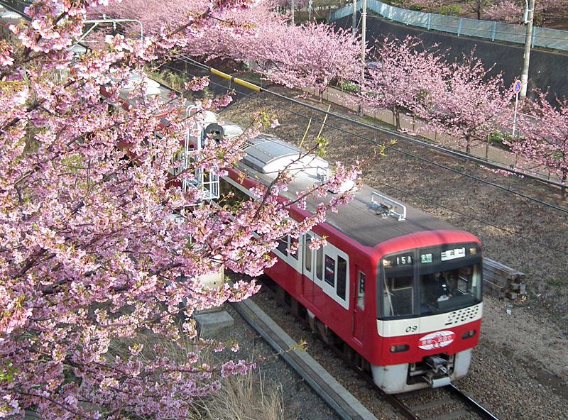 110227河津桜と京急電車10