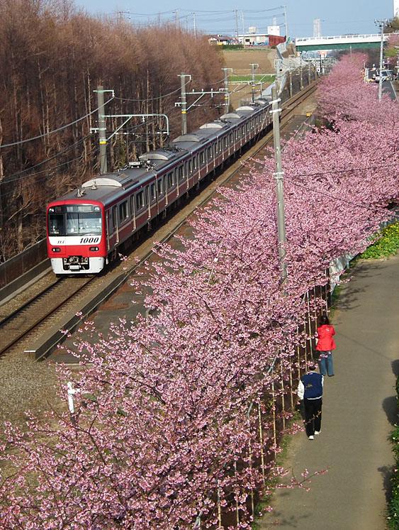 110227河津桜と京急電車9